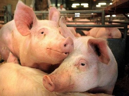 Через африканську чуму свиней на Луганщині оголошено карантин