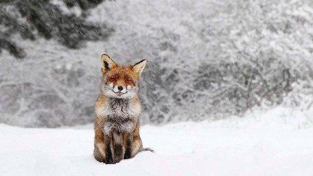 На Львівщині вдруге за тиждень виявили сказ у лисиці