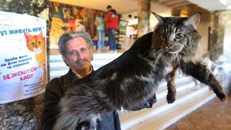 На виставці котів у Львові показали 15-кілограмового мейн-куна. Фото дня