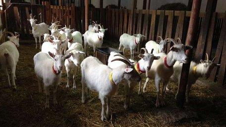 Бельгієць Бернар Вілем вирішив продати відому козину ферму «Шеврет» на Львівщині