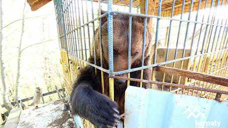 На території бази відпочинку у Карпатах ведмідь напав на львів'янку