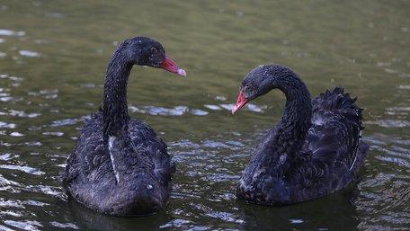 Вперше на озеро в Стрийському парку випустили чорних лебедів