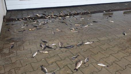 Значний паводок залишив на вулицях Кракова живу рибу. Фото дня