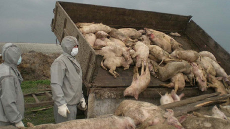 На Львівщині виявили масштабний спалах африканської чуми свиней