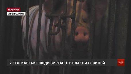 Через африканську чуму на Львівщині знищать майже сто тисяч свиней