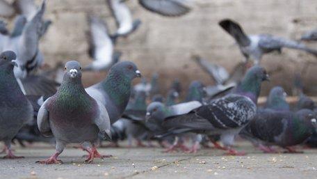Львівські комунальники офіційно заборонили львів'янці годувати голубів на подвір'ї