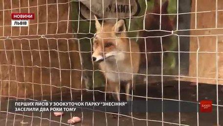 У львівській Домівці врятованих тварин збирають гроші на розширення вольєра для лисиць