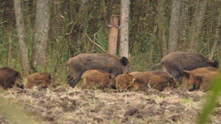 У львівському парку помітили виводок диких кабанів