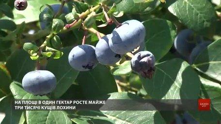 Учасник АТО і волонтер взялися вирощувати поблизу Львова лохину