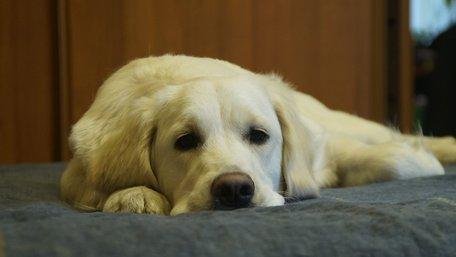 На скільки можна залишити собаку самого вдома?