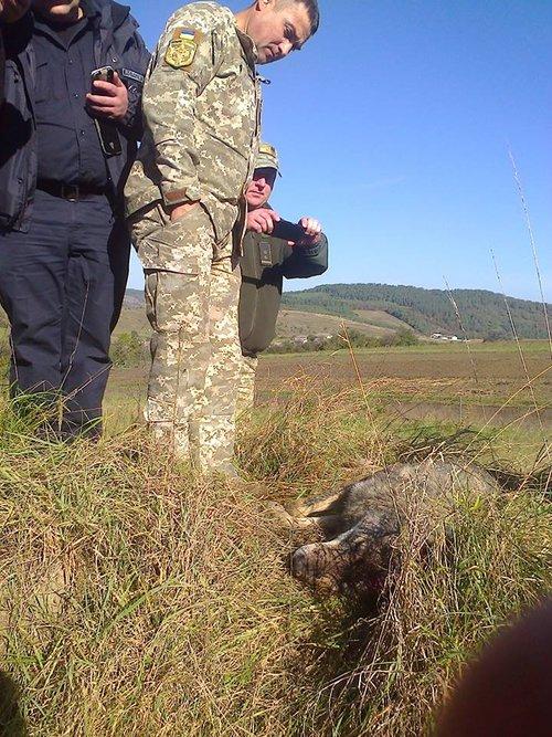 На Тернопільщині вовки покусали вже трьох людей