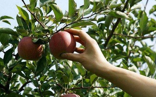 Українські садівники через збитковість залишають врожаї яблук у садах. До такого кроку аграрії вдалися через низькі закупівельні ціни на цю садовину