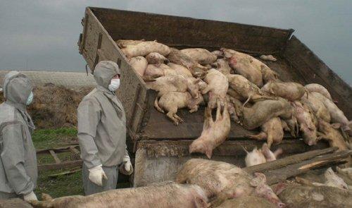 На Львівщині виявили масштабний спалах африканської чуми свиней. У трикілометровій зоні навколо свинокомплексу у Стрийському районі запроваджений жорсткий карантин