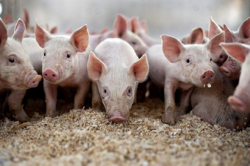 Білорусь заборонила ввіз свинини з Львівщини. Заборона почала діяти з 23 серпня