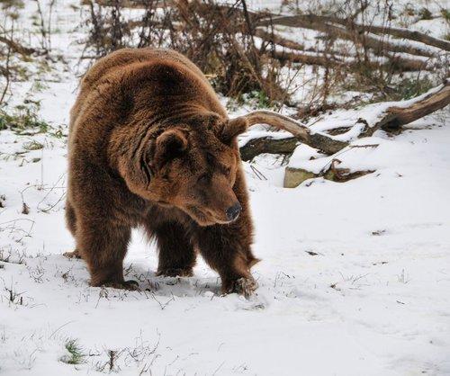 Ведмеді вже прокидаються із зимової сплячки (фото притулку «Домажир»)