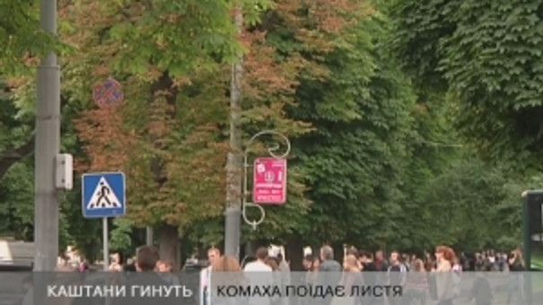 Львівські каштани знову чекають на вакцинацію