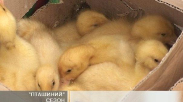 Найбільше купують курчат та качат