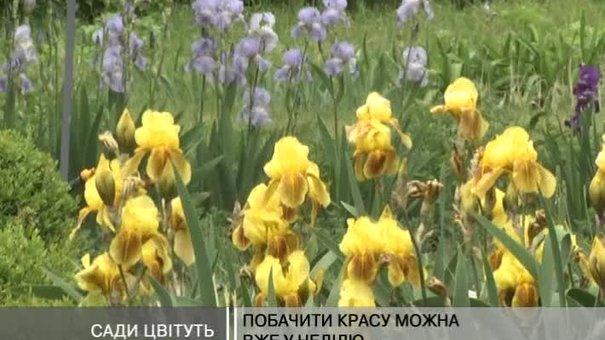 """У Львівському ботанічному саді – колекція """"півників"""""""