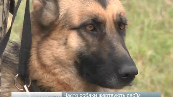 Собаки-сапери, яких видресирували у Великих Мостах, рятують життя військових на східному фронті