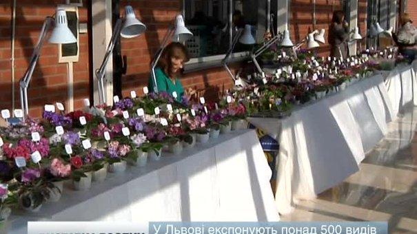 У Львові відкрили виставку фіалок