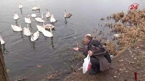 На жидачівському озері «поселилася» рекордна кількість лебедів