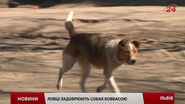 ЛКП «Лев» відловлює безпритульних собак для стерилізації