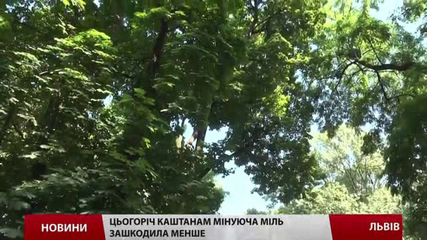Цьогоріч каштани у Львові не вакцинуватимуть від молі
