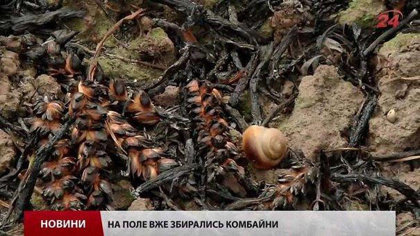 На Львівщині чоловік підпалив свою траву, а згоріло 15 га чужої пшениці