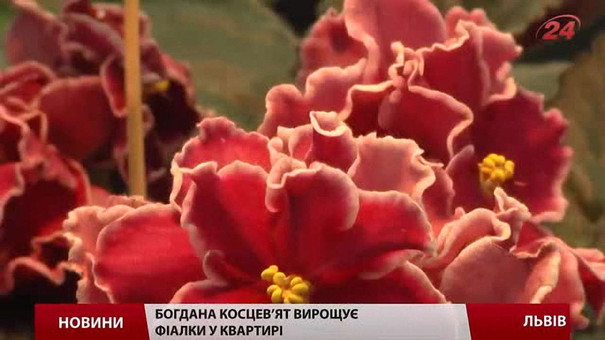 У Львові відкрилась виставка фіалок і сукулентів