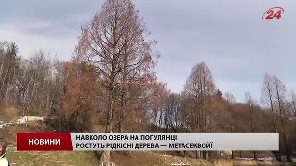 У Львові складають перелік дерев, які хочуть визнати пам'ятками природи