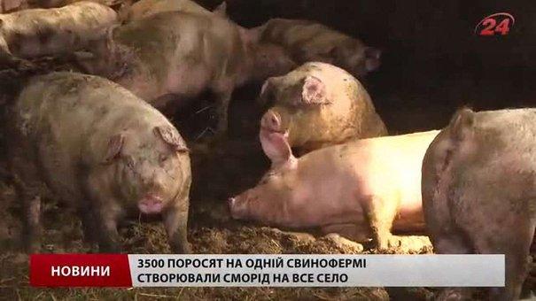 Після тиску селян на свинофермі у Черниляві залишилося 6 свиней