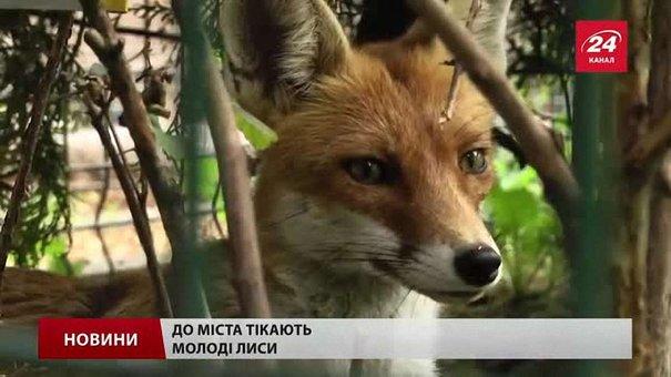 Львівські комунальники невдовзі розпочнуть відлов хижаків