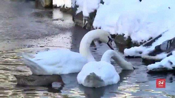 Лебедів зі Стрийського парку заберуть до теплиці в середині грудня
