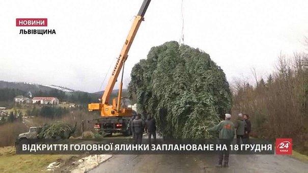 Головну ялинку Львова знайшли за 100 кілометрів на Прикарпатті