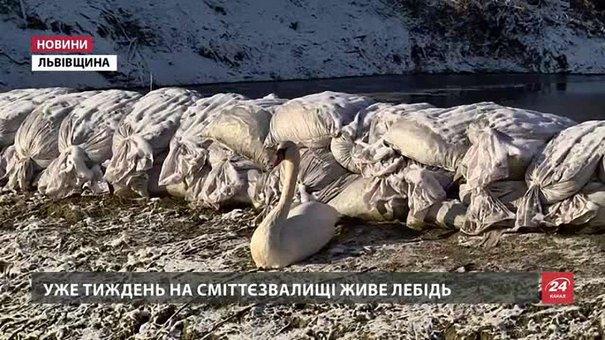 Лебедя з Грибовицького сміттєзвалища екологи радять поки що не турбувати