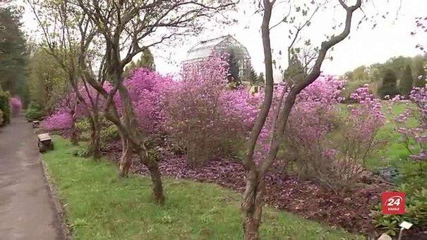 У Львівському ботанічному саду майже на місяць раніше розцвіли магнолії і рододендрони