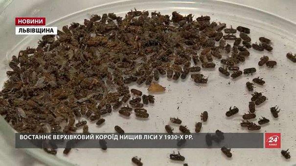 Соснові ліси Львівщини знищує шкідник
