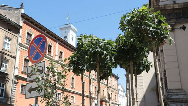 У центрі Львова на площі Катедральній висадили клени