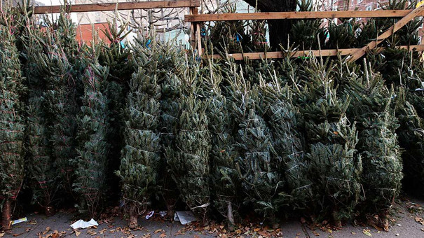 У Львові визначили 25 місць для продажу новорічних ялинок