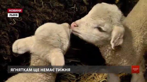 Ягняток, які народилися у Шевченківському гаю, переведуть до дорослих овець через два місяці