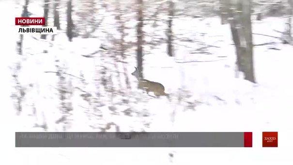 На Львівщині завершили рахувати диких тварин