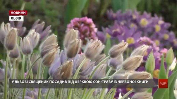 На подвір'ї львівської церкви священик вирощує червонокнижну сон-траву