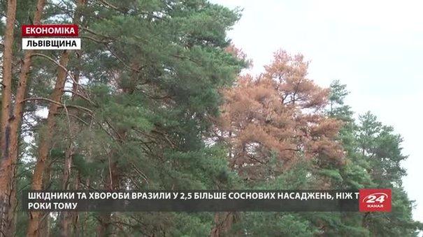 Лісники зафіксували масове всихання соснових дерев на Львівщині
