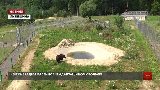У притулку «Домажир» поселили врятовану від мисливських собак ведмедицю
