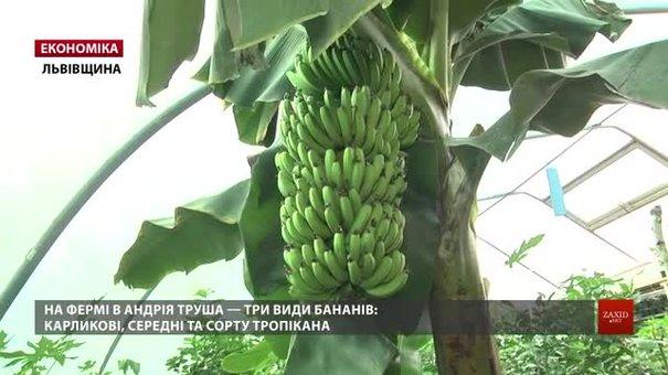 У Липниках біля Львова фермери показали, як вирощують банани у своєму господарстві