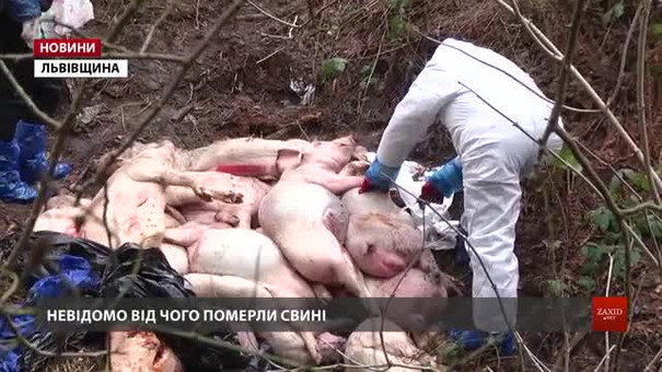 Біля Львова виявили незаконний скотомогильник