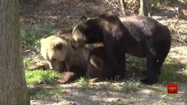 У притулок «Домажир» привезли двох ведмедів із президентської резиденції