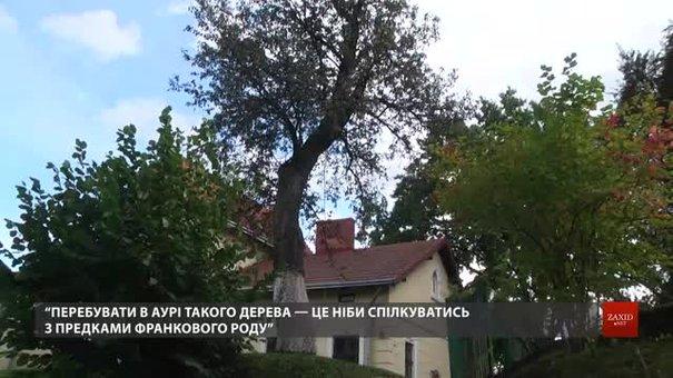 Музей Франка у Львові збирає гроші для порятунку 118-річної груші