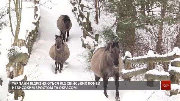 У Яворівському природному парку розводять нащадків рідкісних коней-тарпанів