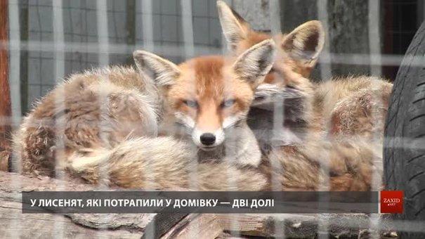 У львівській Домівці врятованих тварин виходжують лисенят, яких скривдили люди